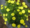 MARIGOLD-KY 6 (YELLOW)-1000 SEEDS. MRP-2100